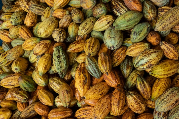 Raw fresh cocoa pod, cacao pods cocoa pods organic background.