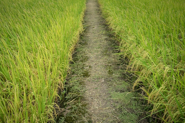 Raw grain rice flied agriculture plant in the nature.