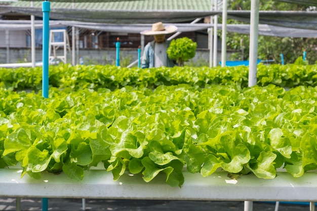 Raw green salad lettuce growing in plastic pipe in hydroponics organic agriculture farm