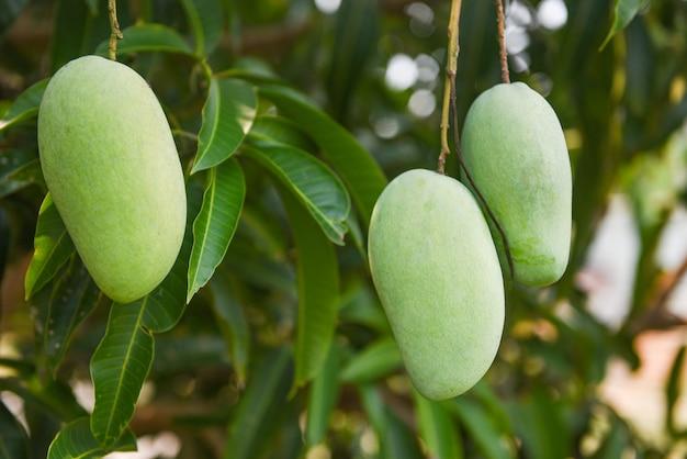 木に掛かっている生のマンゴー