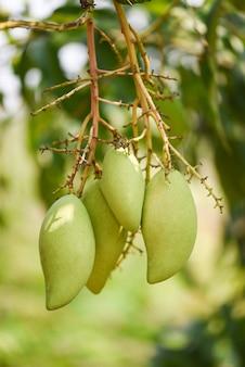 Raw mango hanging on tree closeup