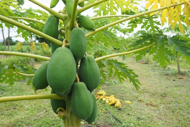 Сырая папайя на дереве в сельском хозяйстве
