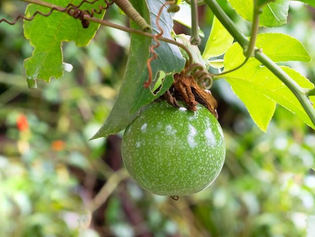 Raw passiflora edulis or passionfruit