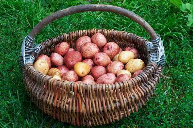Raw potatoes in a basket