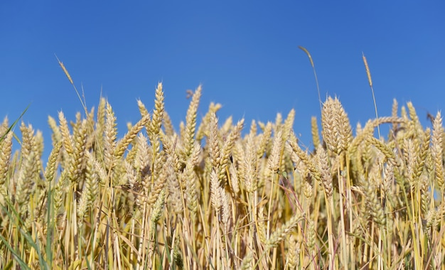 Raw of ripe and golden wheat in a fiel under blue sky