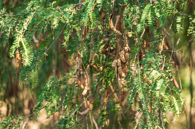 Raw tamarind on the tamarind tree in the garden with natural