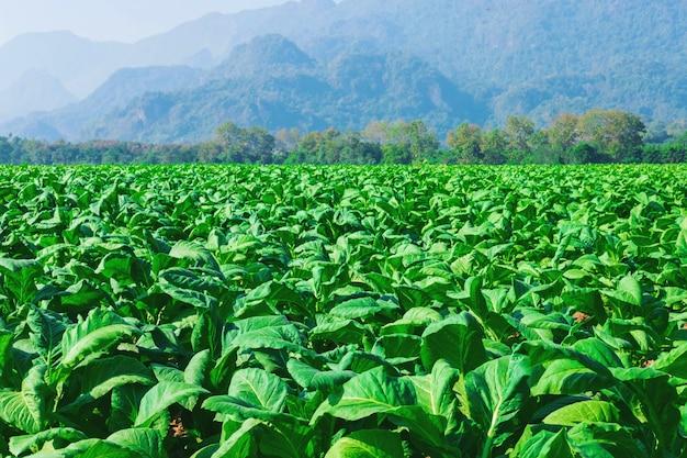 Raw tobacco leaves in tobacco farms