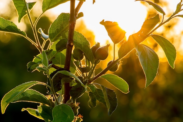 太陽の光がリンゴの葉を透過します