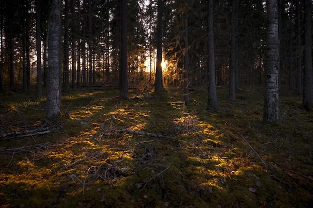 Солнечные лучи, освещающие темный лес высокими деревьями
