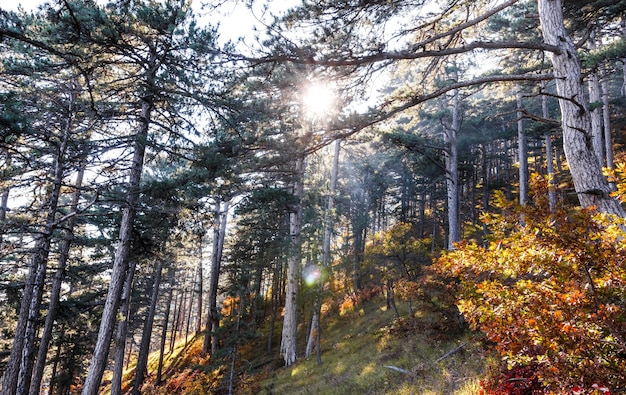 The rays of the sun break through the trees in the autumn forest in the mountains.