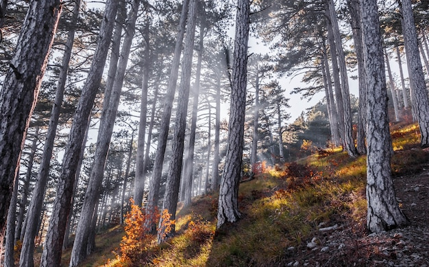 The rays of the sun break through the trees in the autumn forest in the mountains