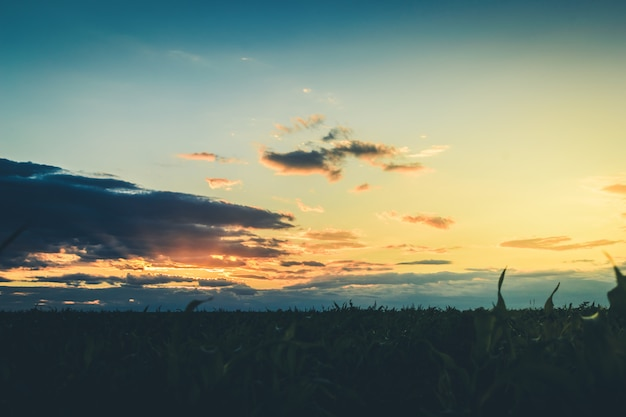Rays of the sunset or sunrise pass through the clouds over the field of corn.