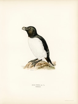 Razorbill (alca torda) illustrated by the von wright brothers.