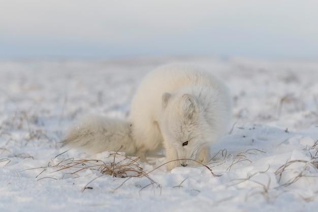 야생 툰드라의 북극 여우(vulpes lagopus). 북극 여우 거짓말.