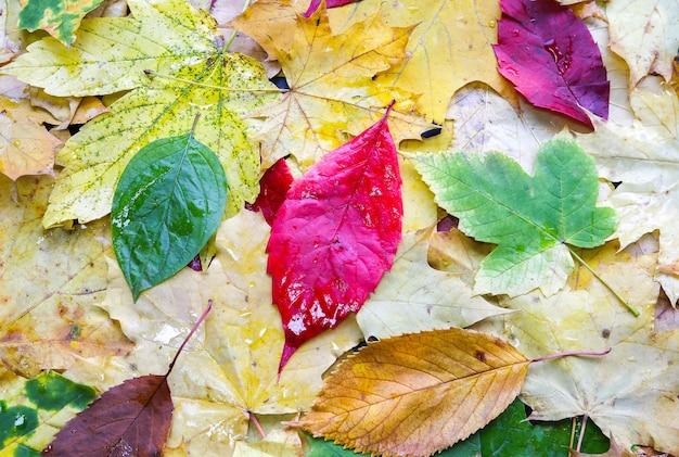Настоящие осенние листья лежат в каплях дождя. сезонное фото. желтые и зеленые цвета с текстурой. ноябрьская открытка.