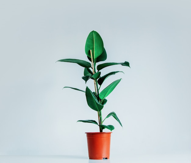 Real ficus plant in a pot on gray background
