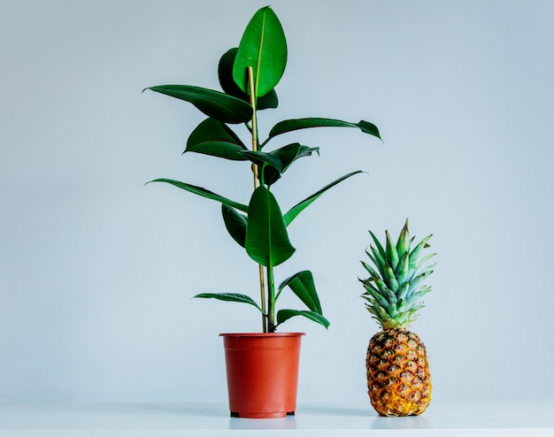 Real ficus plant in a pot and pineapple on gray background