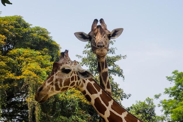 Настоящая текстура кожи жирафа для фонового изображения