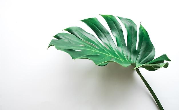 Настоящие листья монстеры на белом фоне