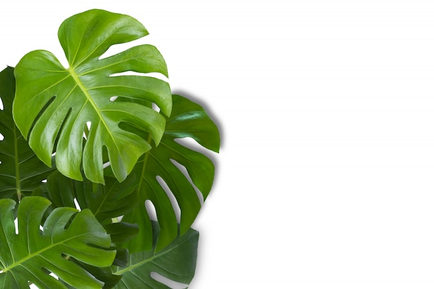 Real monstera leaves on white background.