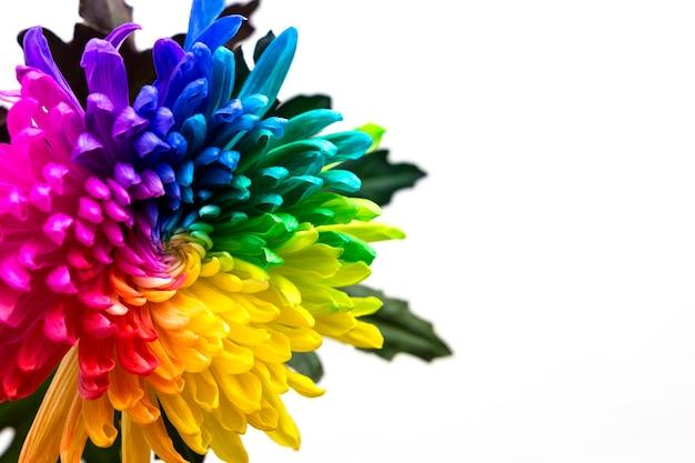 白い背景に本物の色とりどりの菊の花