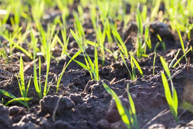 잔디 잎이있는 진짜 유기농 녹색 호밀 밭, 수확량이 높은 농업 분야, 동유럽, 호밀이 자라고 아직 익지 않았습니다.
