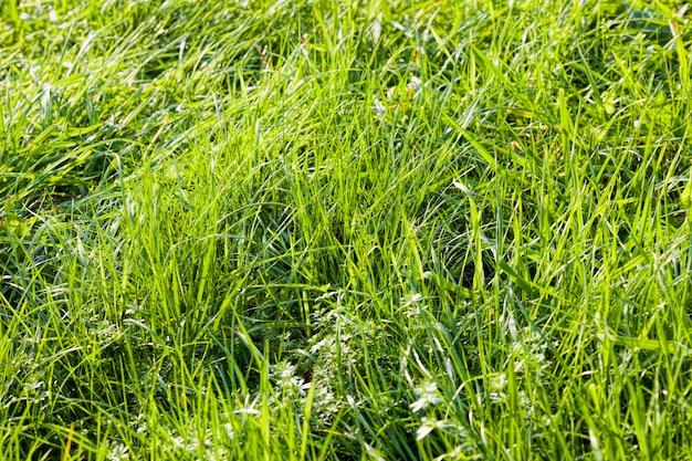 草の葉のある本物の有機緑小麦畑、高収量の農地、東ヨーロッパ、小麦は成長していてまだ熟していない