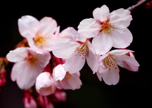 실제 분홍색 사쿠라 꽃 또는 벚꽃 클로즈업 및 일본 도쿄 나카 메구로에서.