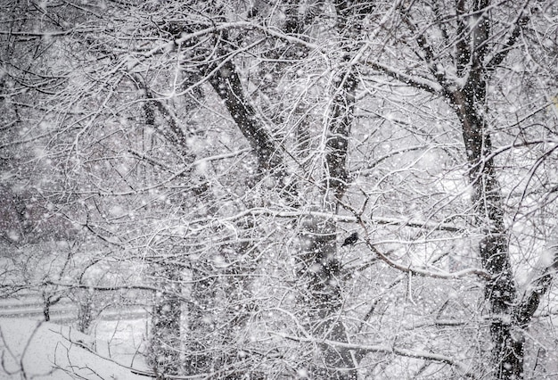Real snow falling. natural winter forest trees