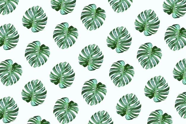 Real tropical monstera leaves pattern design on white color background.