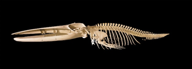 Real whale skeleton isolated on black background