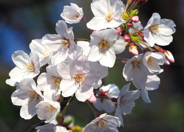 Real white sakura or cherry blossom blooming in the park at daytime and blue sky and close-up.