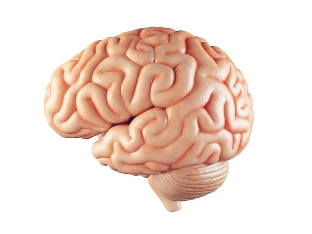 현실적인 뇌 그림