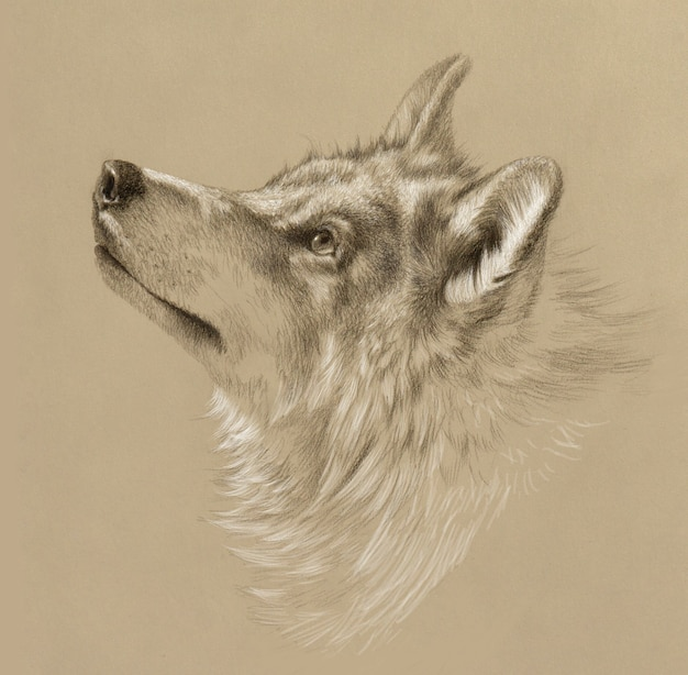 Realistic drawing of a wolf head. pencil drawing on tinted paper.