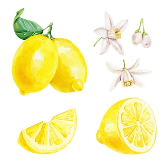 Realistic watercolor set of a lemon with leaf and lemon slices flowers on white background
