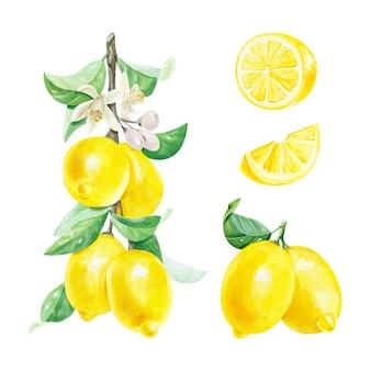 白い背景に葉とレモンスライスの花とレモンの枝のリアルな水彩セット