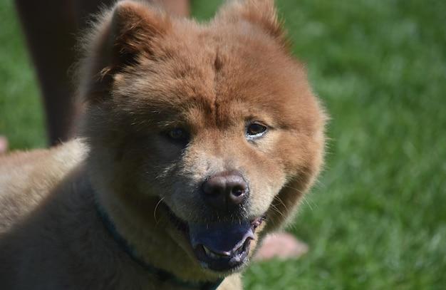 中国からの本当に愛らしい剃ったチャウチャウの子犬