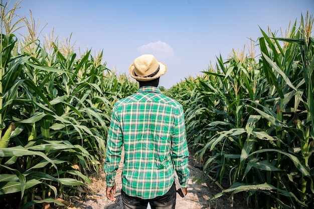 Rear view of africa american farmer standing with tablet in corn field examining crop at blue sky