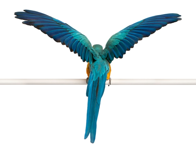 Rear view of blue and yellow macaw, ara ararauna, perched and flapping wings on white isolated