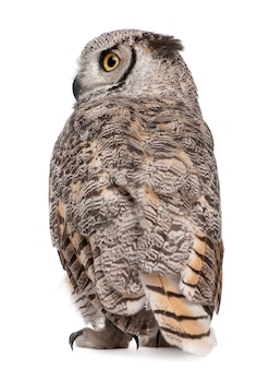 Rear view of great horned owl, bubo virginianus subarcticus, on white isolated