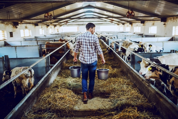 Rear view of handsome caucasian farmer in plaid shirt and jeans holding buckets in hands with animal food. stable interior.
