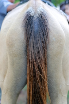 Rear view horse tail