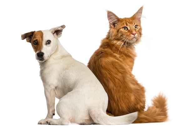 メインクーンの子猫と座っているジャックラッセルの背面図