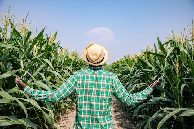 Вид сзади афроамериканского фермера, стоящего с планшетом в кукурузном поле, изучающего урожай в голубом небе