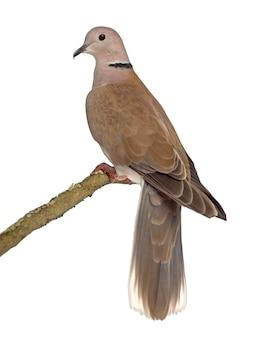 Вид сзади африканского голубя с воротником, изолированного на белом