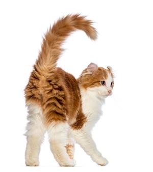 Вид сзади американского керл котенка (3 месяца)