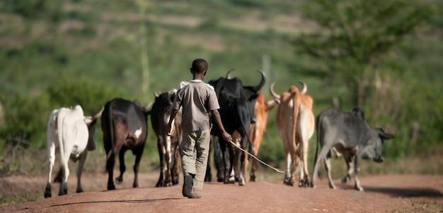 牛、セレンゲティ国立公園、セレンゲティ、タンザニア、アフリカの群れを持つ少年の背面図