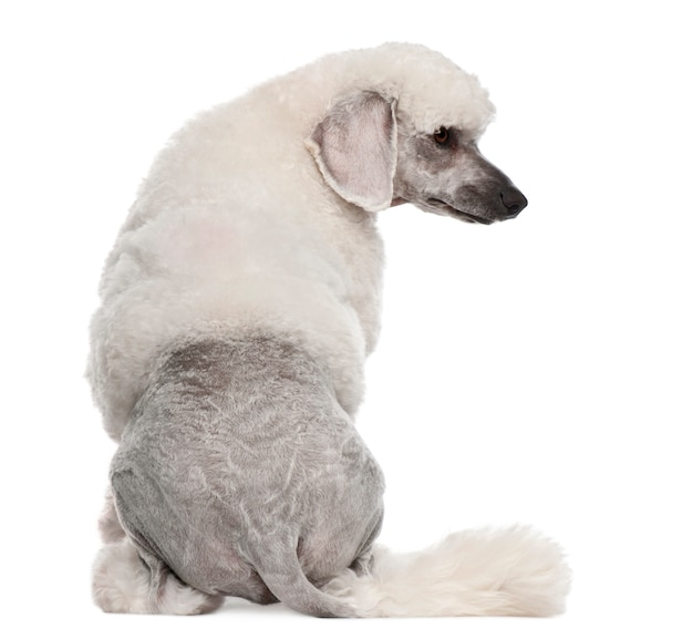 Rear view of poodle, 1 year old, sitting in front of white wall
