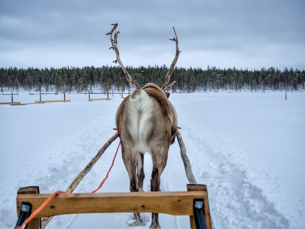 Rear view of a reindeer sledding on snow covered landscape in forest