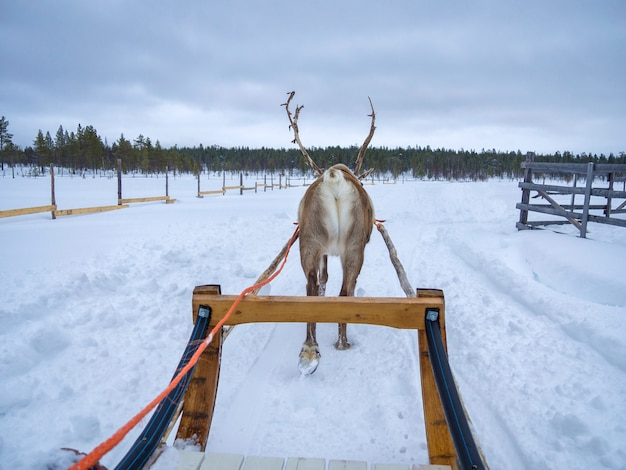 Rear view of a reindeer sledding on snow covered landscape in snowed forest